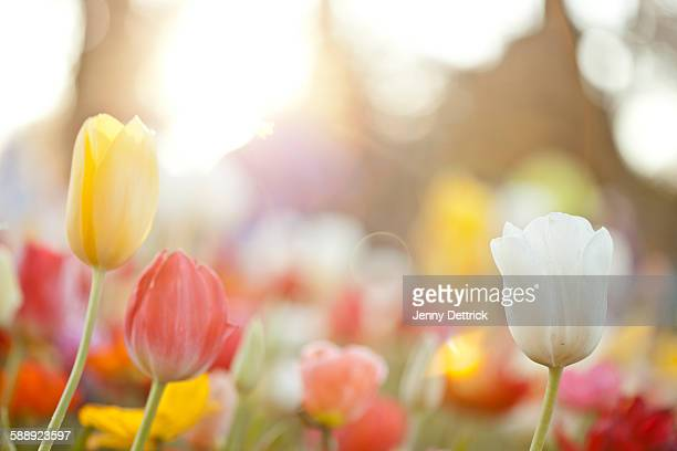 Tulips in a garden bed
