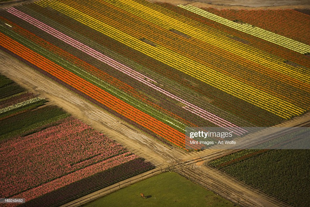 Tulips in bloom grown in open fields, and viewed from the air. Skagit Valley, Washington, USA : Stock Photo