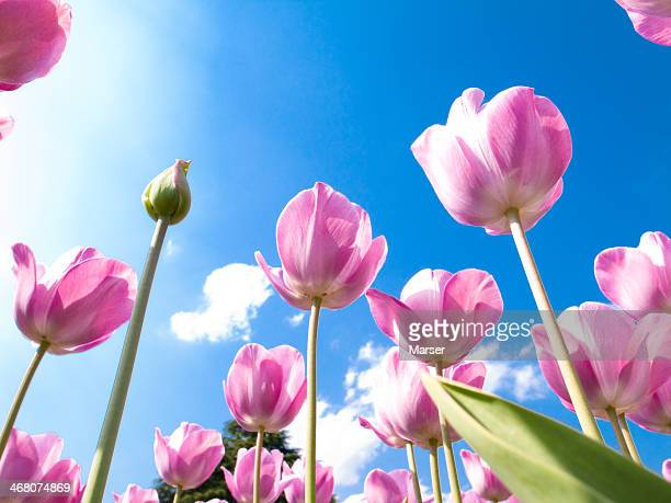 Tulips in full bloom against blue sky