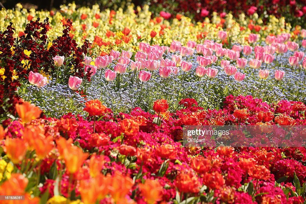 Tulips in full bloom in St James's Park on May 1, 2013 in London, England. Following an unseasonally cold start to the year, temperatures across the UK are beginning to increase.