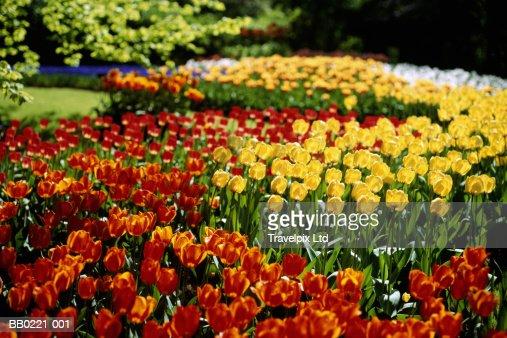 Tulips in garden, spring : Foto stock