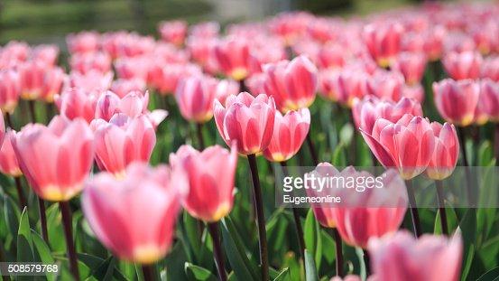 Tulipani sotto il sole : Foto stock