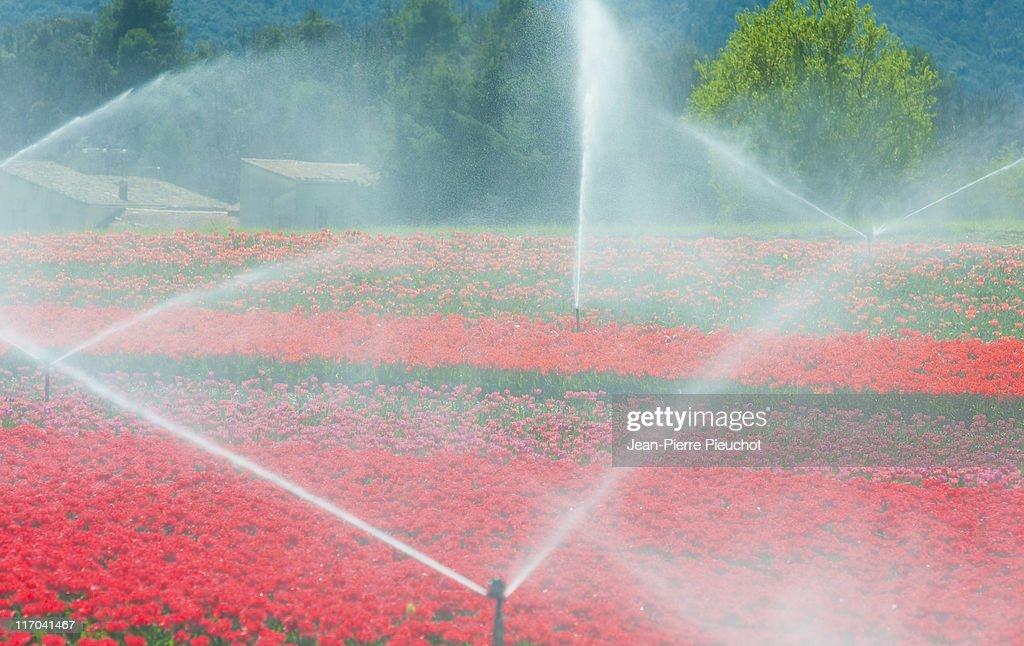 Tulips irrigation Provence France : Stock Photo