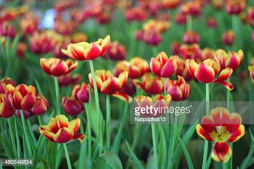 Tulipanes : Foto de stock