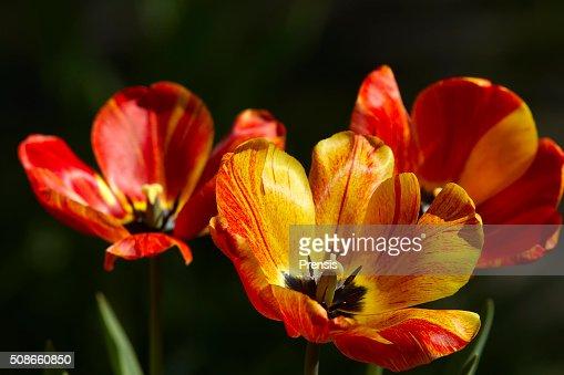 Tulips : Stock Photo