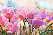 Pink tulips in flower greenhouse on  pastel background
