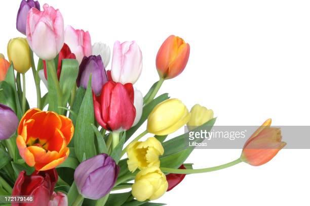 Tulips Series