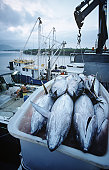 Tuna fish in container on fishing boat, dawn, Cairns, Australia