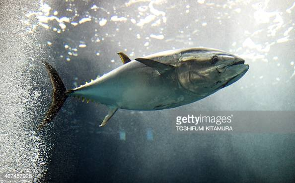 A tuna fish swims in the large tank at the Tokyo Sea Life Park in Tokyo on March 25 2015 The park on March 24 found the second last tuna fish...