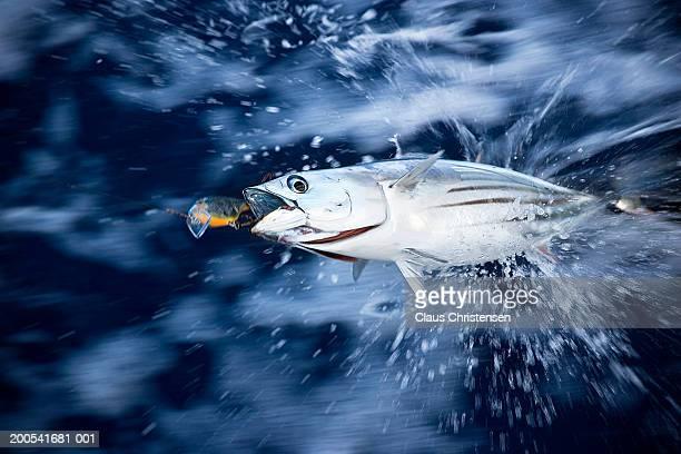 Tuna struggling on fishing hook in sea (blurred motion)
