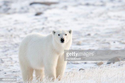 Tundra Polar