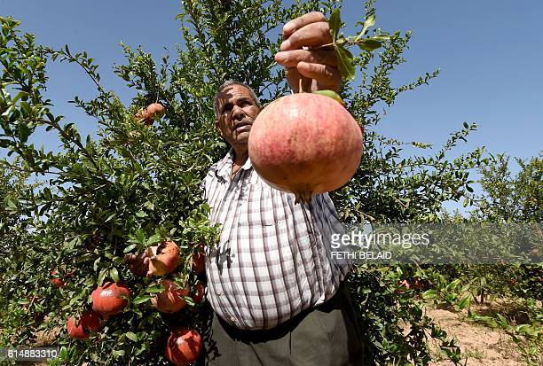 A Tunisian farmer holds a pomegranate on October 15 2016 during the pomegranate festival in the small town of Testour located in the north of Tunisia...