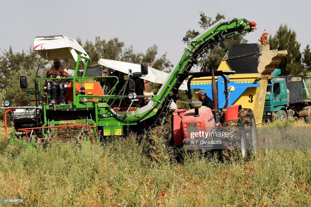 Tunisian farmers harvest tomatoes in a field in Menzel Mheri on July 13, 2017, in the governorate of Kairouan. /