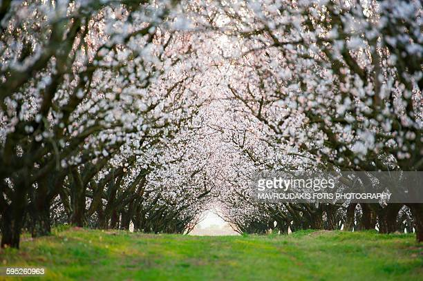 Tunnel of almond trees