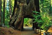 Tuolumne Tunnel Tree
