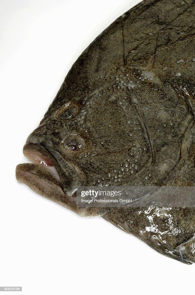 Turbot fish on white background, close up : Stock Photo