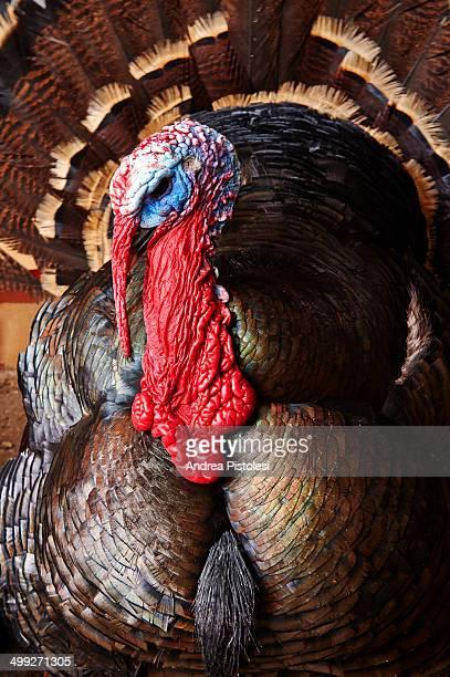 Turkey in Irish farm