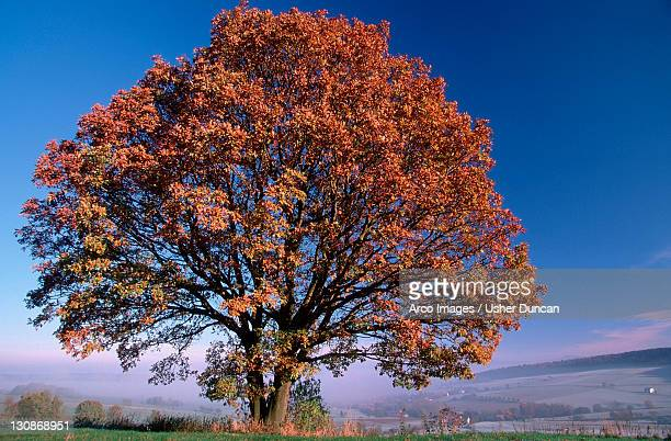 Turkey Oak in autumn, Hessen, Germany / (Quercus cerris)