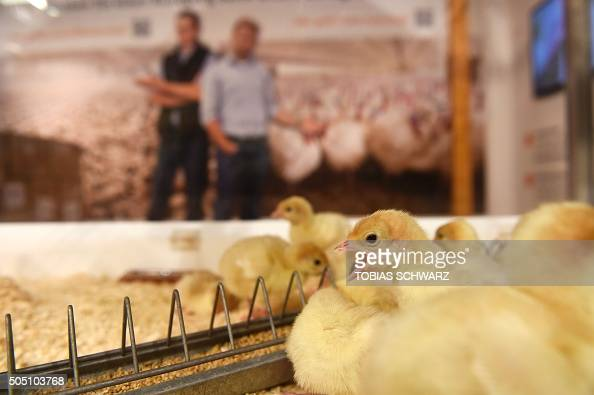 Turkey poults are presented at the opening day of the 'Gruene Woche' agricultural fair in Berlin on January 15 2016 The International Green Week...
