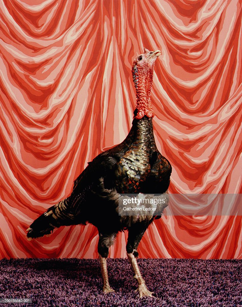 Turkey (meleagris gallopavo sp.) standing in front of red backdrop : Stock Photo