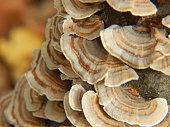 Turkey tail polypore (Trametes versicolor) mushrooms fruiting in autumn.