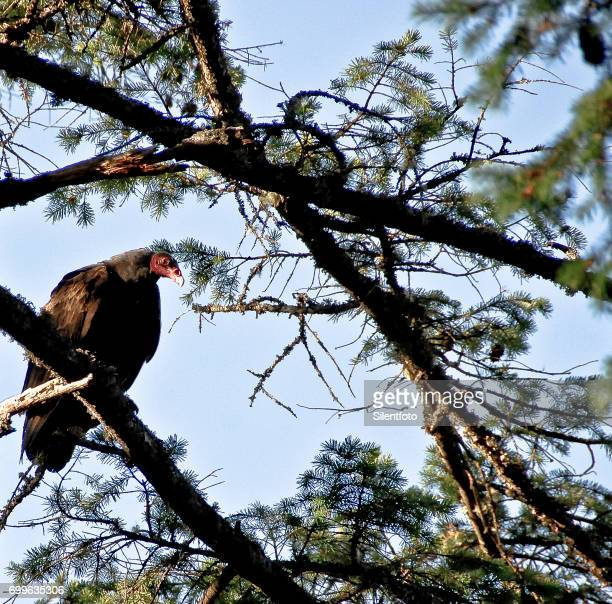 A Turkey Vulture Perched in Tree Eyes Camera