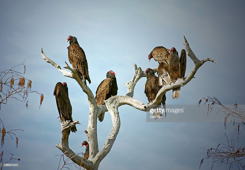 Turkey Vultures on Dead Tree : Stock Photo