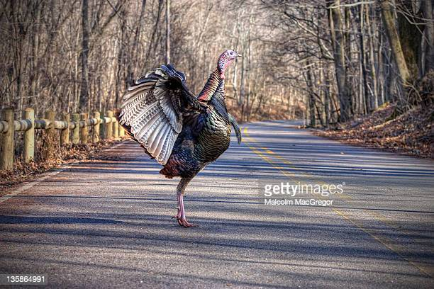 Turkey with stretched wings