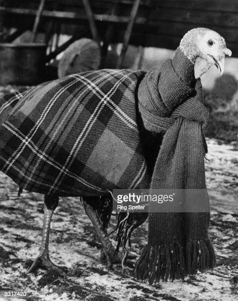 A turkey wrapped up in a blanket and scarf to keep it warm and free from colds and chills at Hambledon Farm Welwyn Hertfordshire 30th October 1950