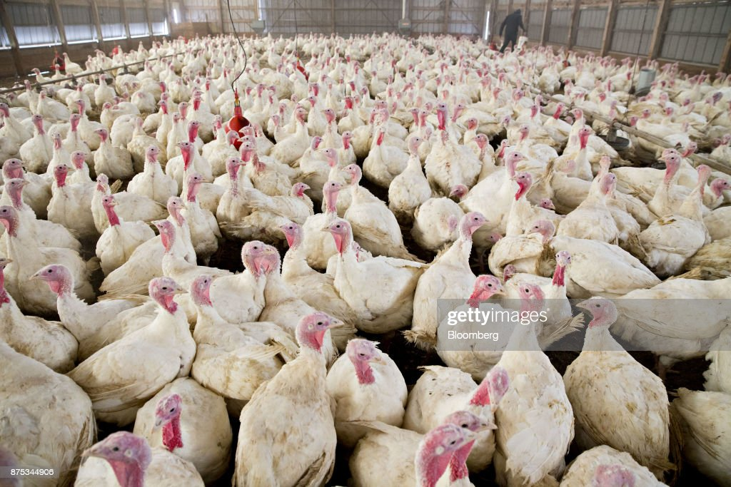 The Yordy Turkey Farm As Americans Prepare For Thanksgiving Holiday