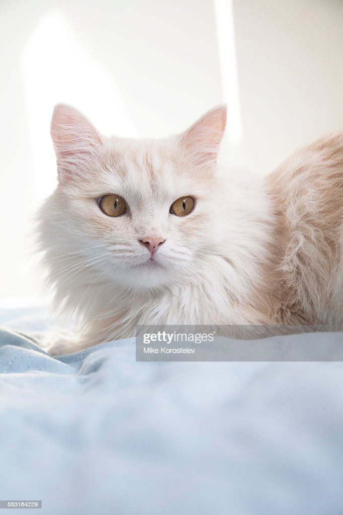 Turkish angora cat at home