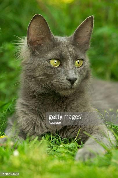 Turkish Angora cat Felis catus resting on grass