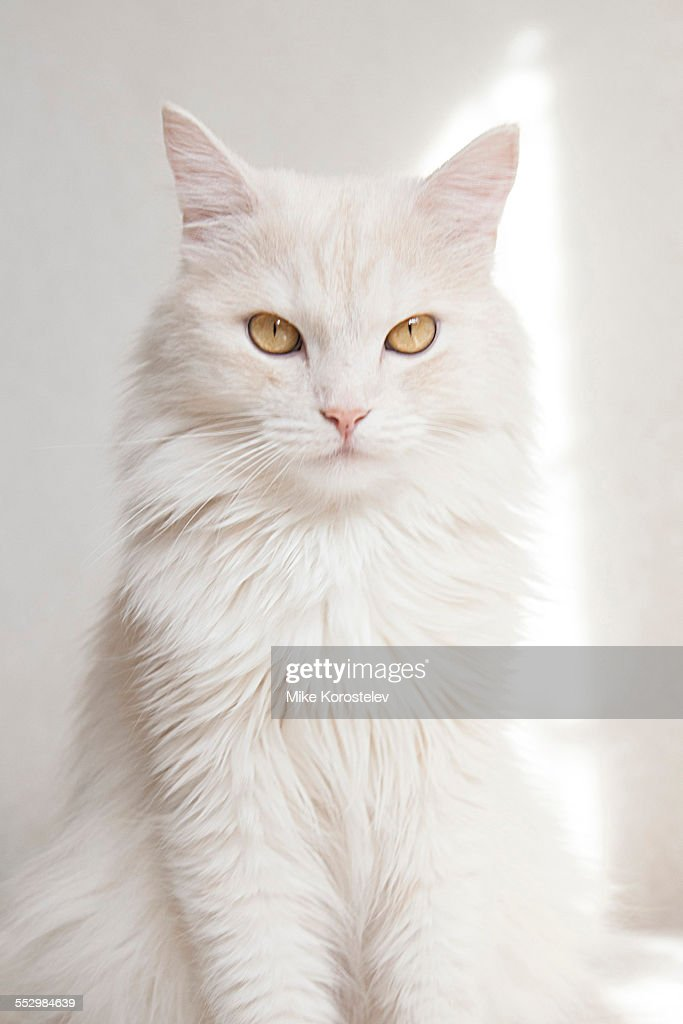 Turkish angora cat, pet, breed, cute white cat