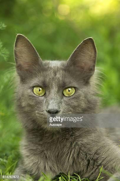 Turkish Angora cat
