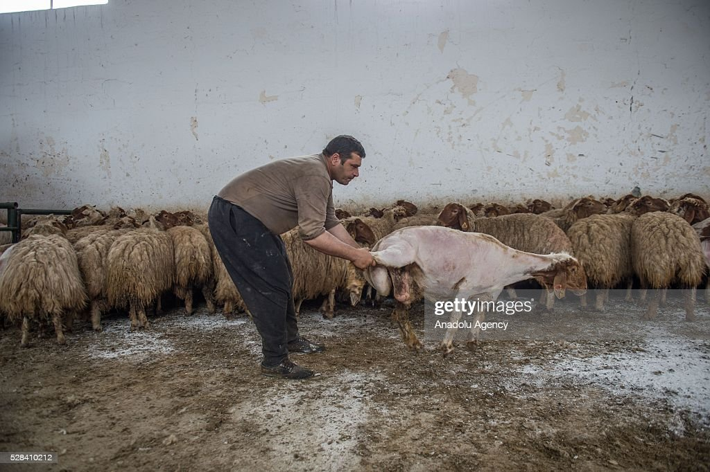Turkish General Directorate of Agricultural Enterprises (TIGEM) officer shears awassi sheep before summer season at Ceylanpinar agricultural enterprise in Sanliurfa, Turkey on May 4, 2016.