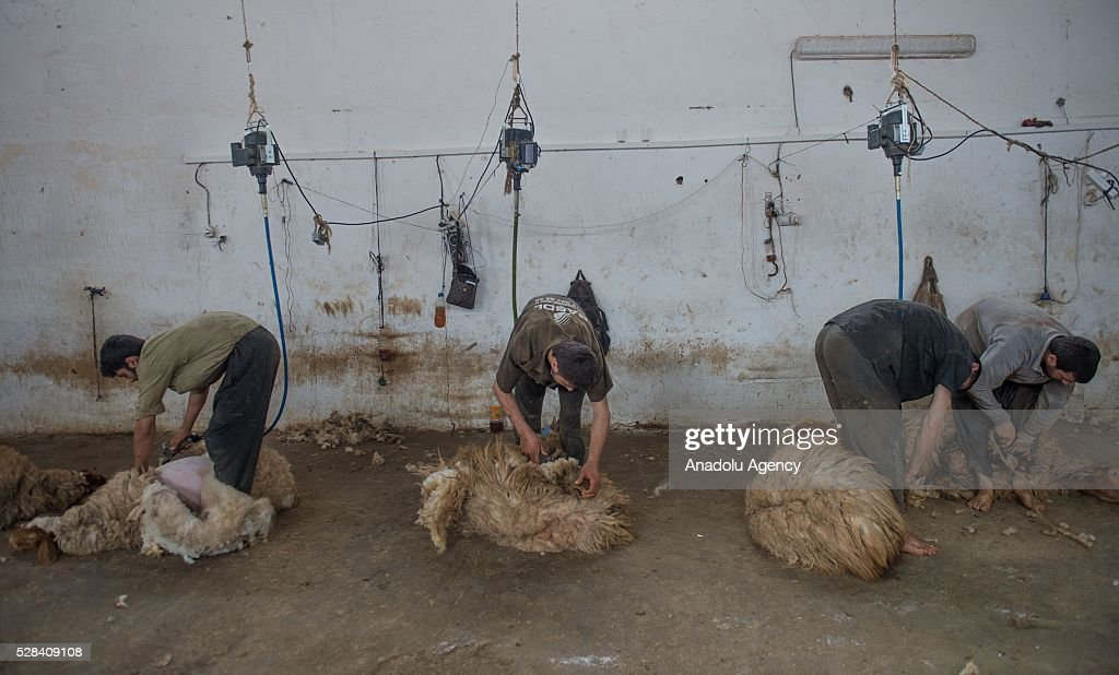 Turkish General Directorate of Agricultural Enterprises (TIGEM) officers shear awassi sheep before summer season at Ceylanpinar agricultural enterprise in Sanliurfa, Turkey on May 4, 2016.