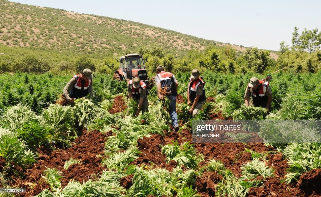 Turkish soldiers collect marijuana plants before burning them during an operation on June 20, 2013, at Lice in Diyarbakir.