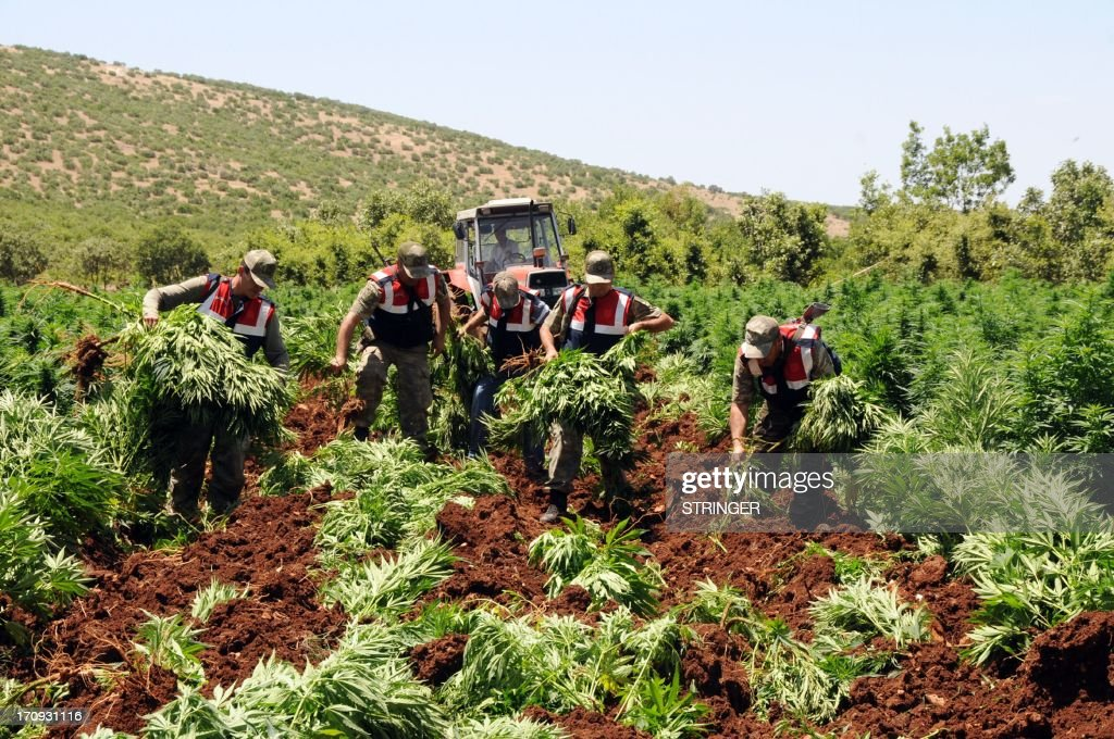 Turkish soldiers collect marijuana plants before burning them during an operation on June 20, 2013, at Lice in Diyarbakir. AFP PHOTO/STRINGER