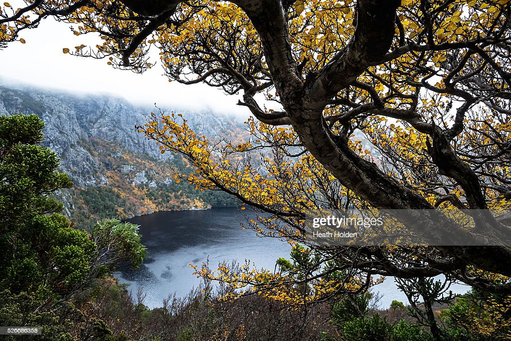 'Turning' fagus trees surround Crater Lake which are seen at Cradle Mountain National Park on April 30, 2016 in Australia. Deciduous beech, better known as fagus, is Australia's only cold climate winter deciduous tree. It grows to about 2 metres in size and found at elevations around 800m which receive lots of rain. The origins of fagus go way back to when Tasmania was part of the supercontinent Gondwana. The closest species to fagus are now found in South America and New Zealand.