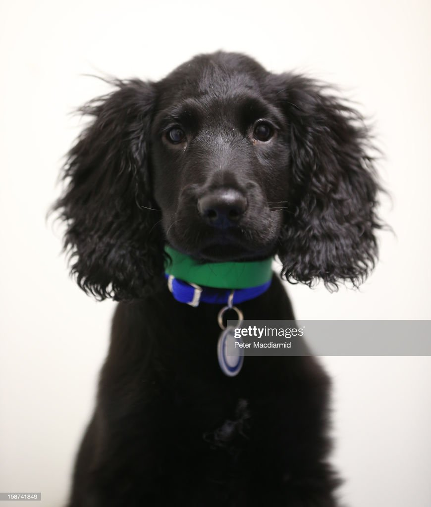 Turnip, a cocker spaniel found abandoned earlier today, is looked after at Battersea Dogs and Cats Home on December 27, 2012 in London, England. The home was founded 150 years ago and has rescued, reunited and rehomed over three million dogs and cats. The average stay for a dog is just 28 days although some stay much longer. Around 550 dogs and 200 cats are provided refuge by Battersea at any given time.