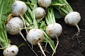 Kitchen garden / Turnip cultivation and harvesting.