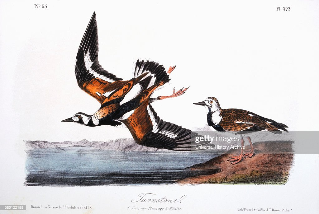 Turnstone HandColored Etching from the Book 'The Birds of America' by John James Audubon circa 1830's