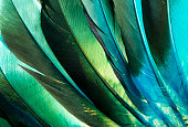 This is a macro photo of some colorful turquoise and green duck feathers from a Native American Indian costume.  I used a back light to bring out the feathery textures and vibrant colors.