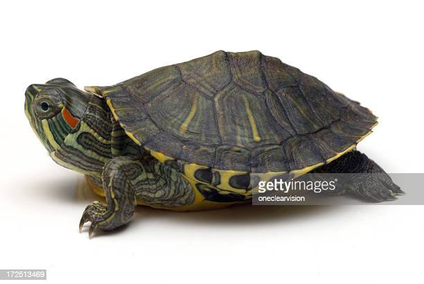 Tortue 01