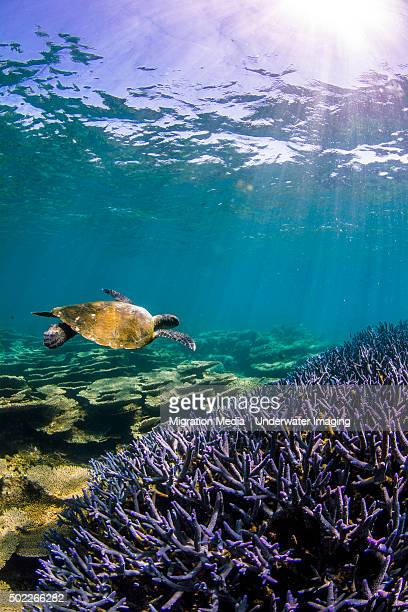 turtle and purple staghorn coral