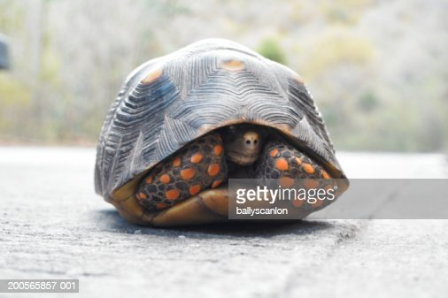 Turtle hiding in shell : Stock Photo