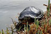 turtle in pond with grass