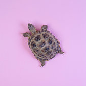 Turtle on pink background trend flat lay concept with fashionable toning