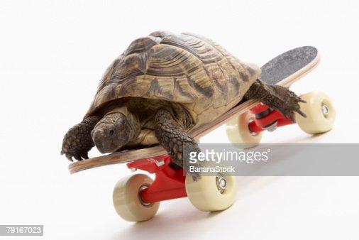 Turtle on skateboard : Stock Photo