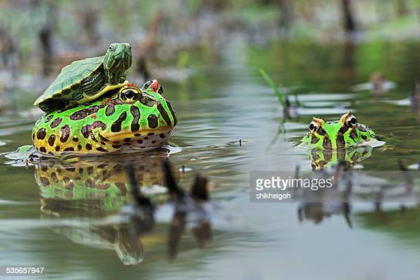 Turtle sitting on toad, Indonesia